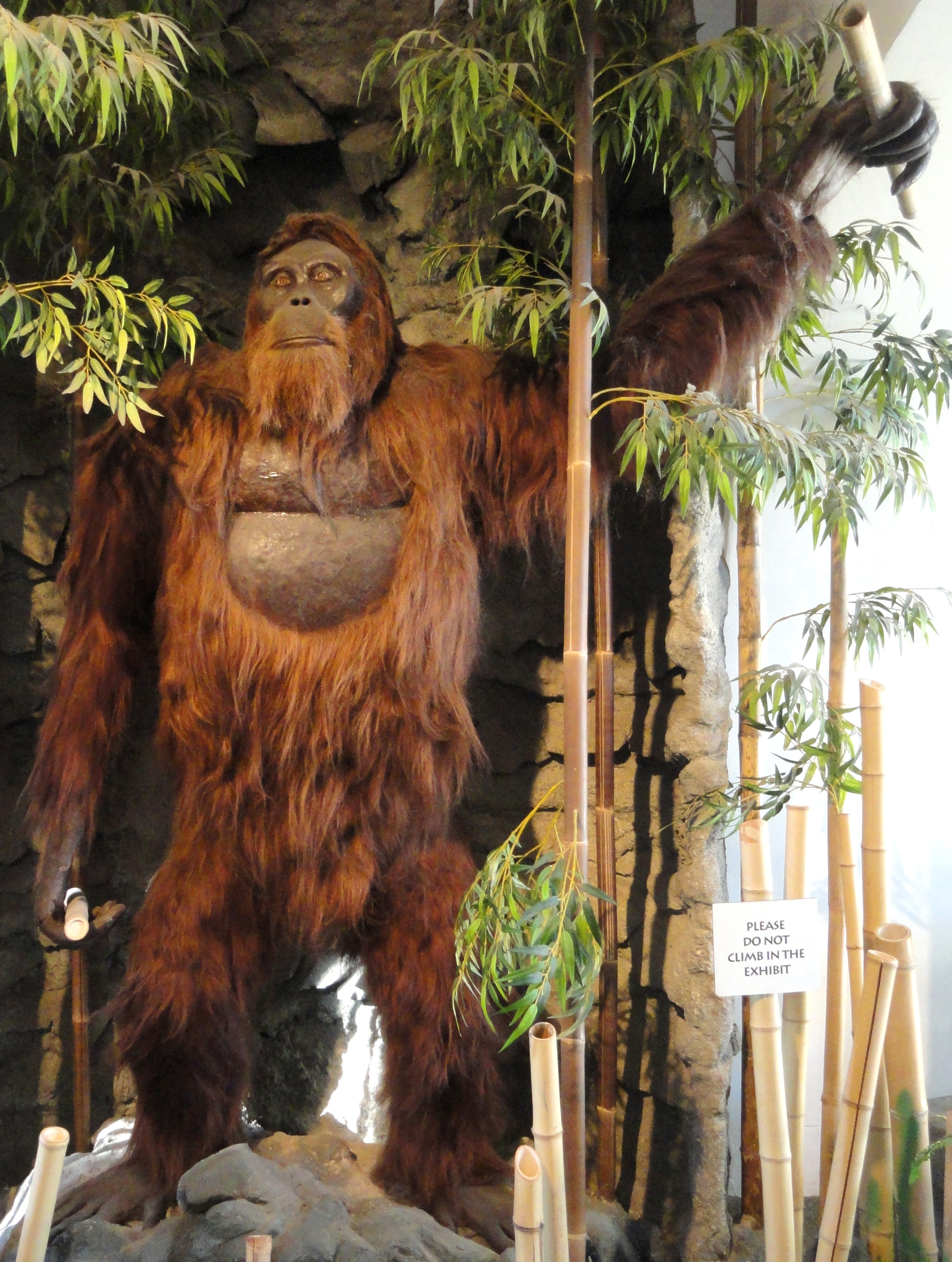 Giant Ape Went Extinct Rather Than Adapt its Diet
