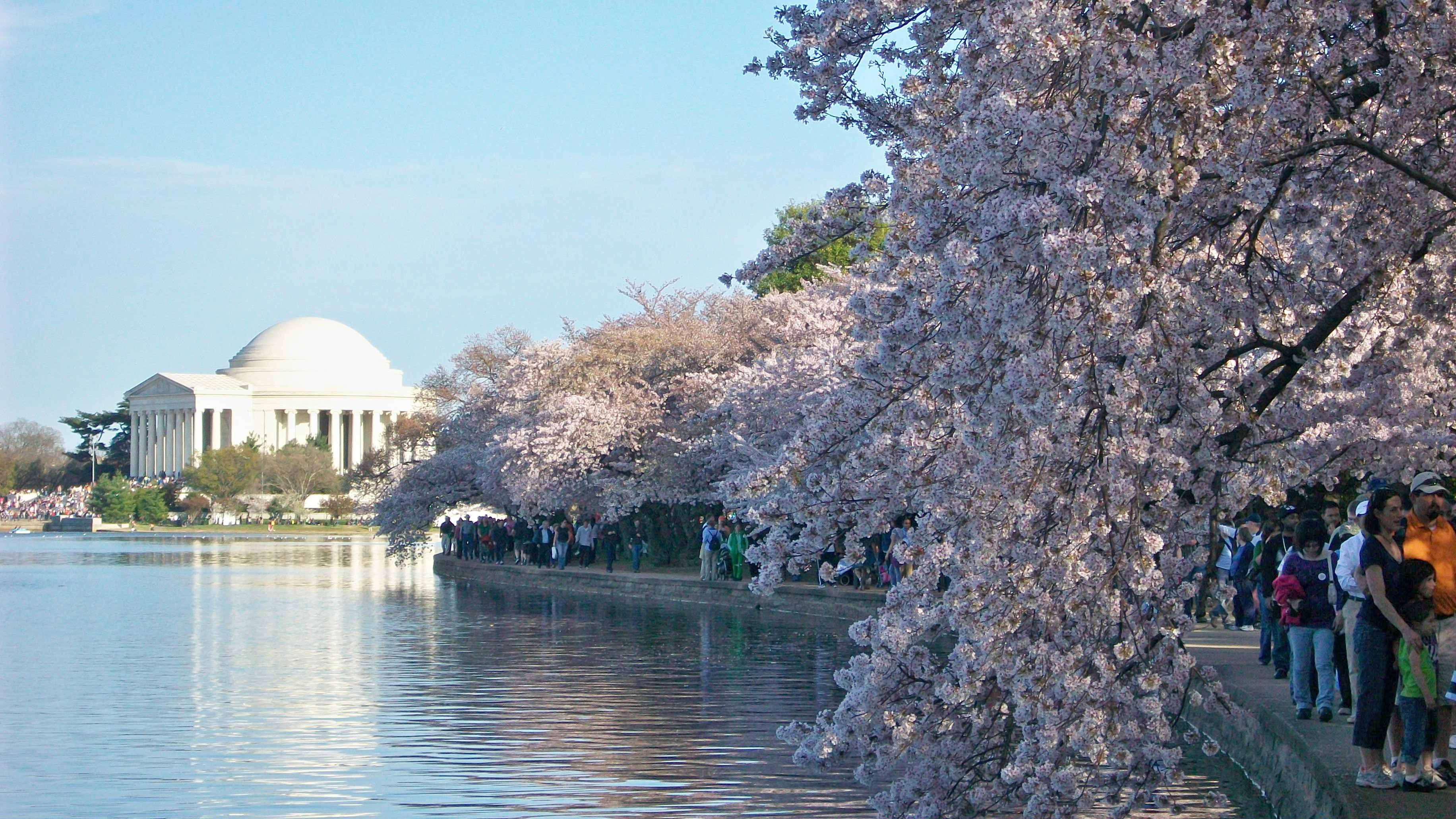 When Washington D C S Iconic Cherry Blossoms Had To Be Removed