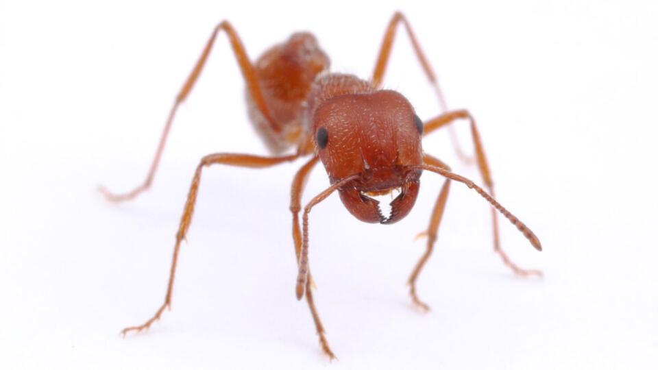 Harvester Ant