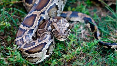 How Burmese Pythons Took Over the Florida Everglades