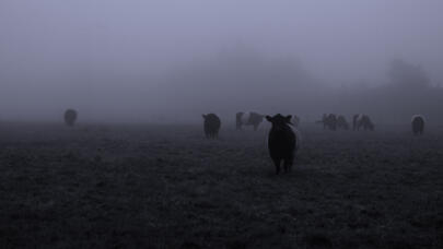 The Mysterious History of Cattle Mutilation