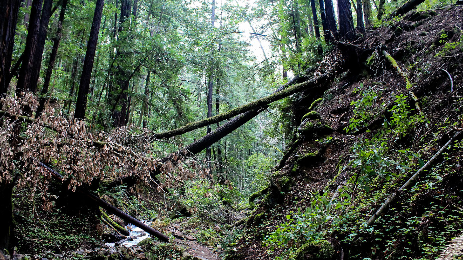 An ancient forest in California, possible home of the Bigfoot.