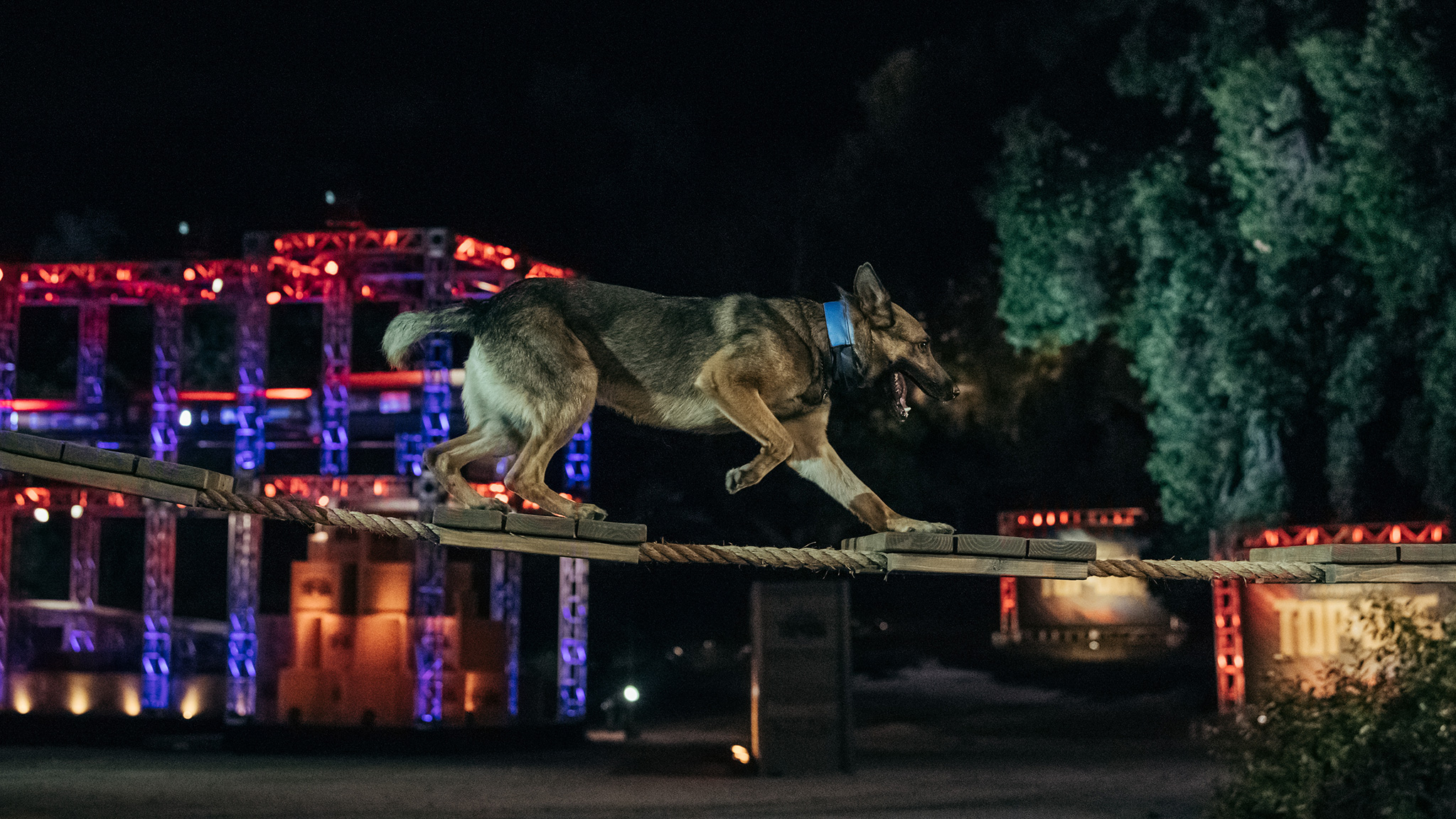 A K9 competitor crosses the shaky Rope Bridge.