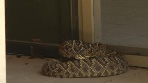 Rattlesnake Rescue