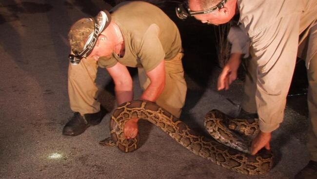 Giant Pythons in America