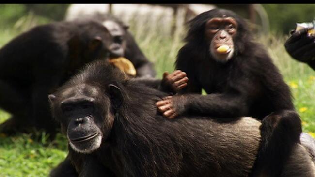 Killer Chimps in America